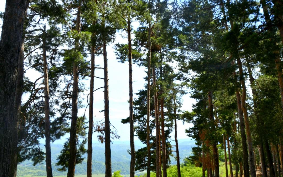 The Fir Tree Edge